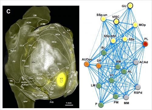 Újabb eredmények az egerek agyi neuronhálózatának szerkezetére vonatkozóan