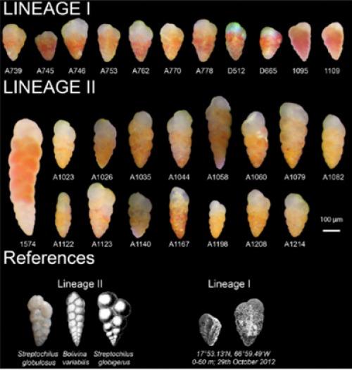 A tetten ért evolúció: BBTE-s hozzájárulás egy tengeri egysejtű evolúciójának tisztázásához